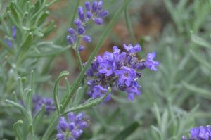 Lavender-Plants That Repel Mosquitoes