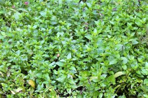 Peppermint-Plants That Repel Mosquitoes