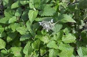 Catnip- Plants That Repel Mosquitoes