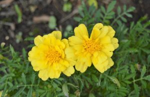 Marigold- Plants That Repel Mosquitoes