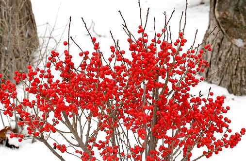 8 Shrubs With Outstanding Winter Interest