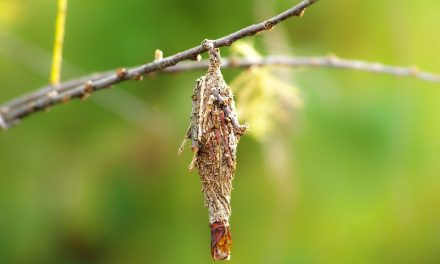 Pest Problem: Bagworms