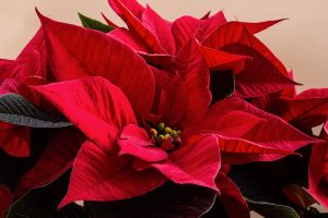 Care For Poinsettias