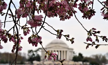 Cherry Blossoms – A Washington DC Tradition