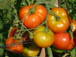 How To Grow Your Best Tomatoes Ever