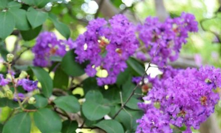 How to grow Crape Myrtles