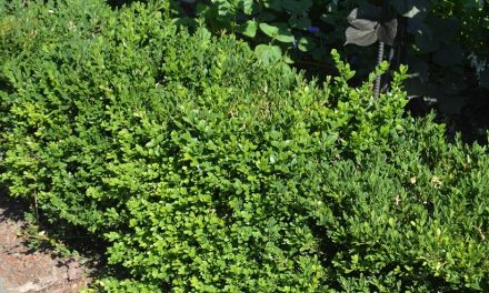 Pest Problem: Boxwood Blight