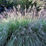 How To Select and Care For Ornamental Grasses