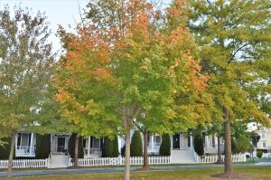 Fall Color- Acer rubrum – Red Maple