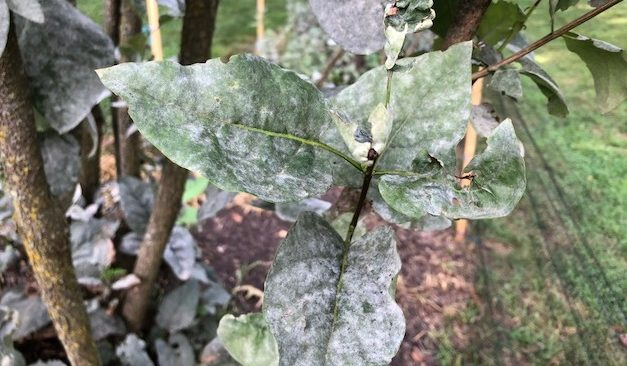 Pest Problem: Powdery Mildew
