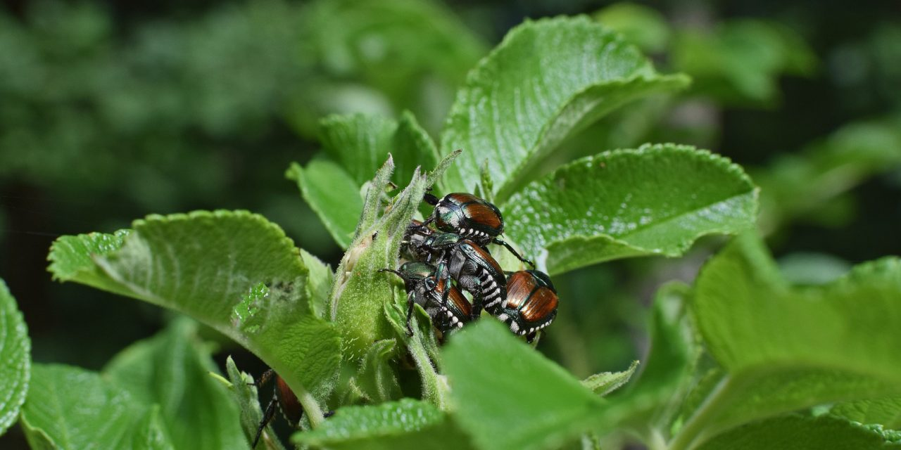 Don't Let Japanese Beetles Devour Your Landscape
