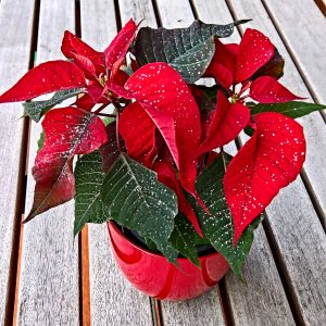Care For Holiday Plants
