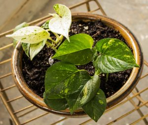 Pothos- 5 Houseplants You Can't Kill