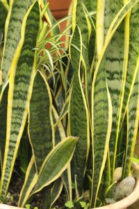 Snake Plant- 5 Houseplants You Can't Kill