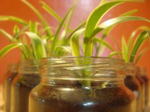 Spider Plant- 5 Houseplants You Can't Kill
