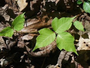 Recognize Poison Ivy In The Winter
