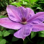 Clematis – The Easy To Grow Flowering Vine