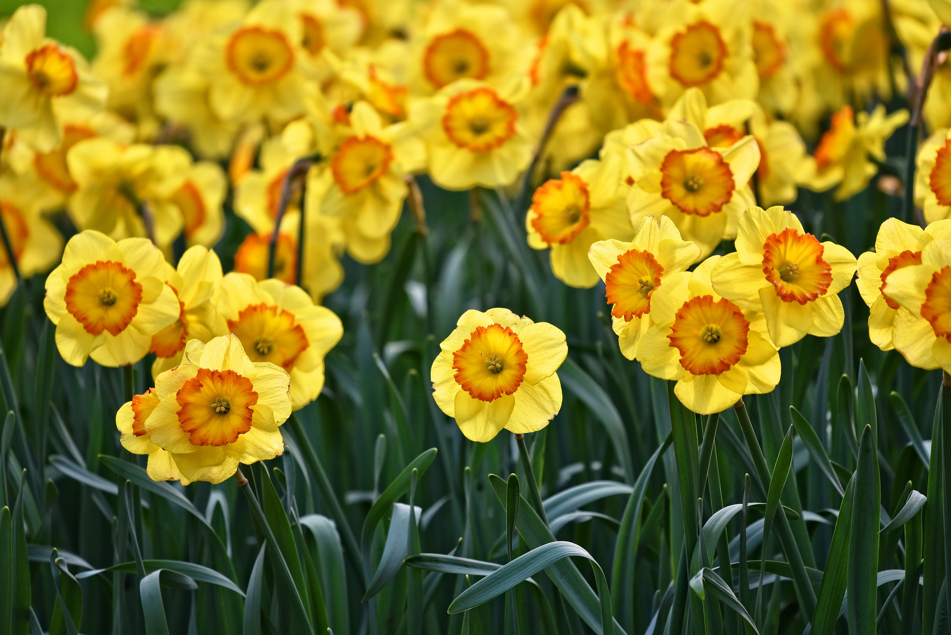 7 Fun Facts You Did Not Know About Daffodils