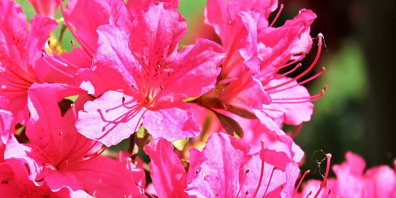 RightPlantz Guide To Growing Azaleas