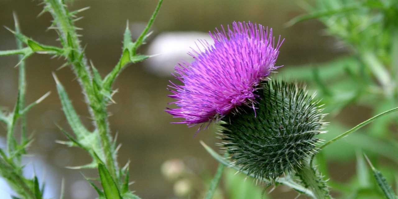 Do You Have A Thistle Problem?