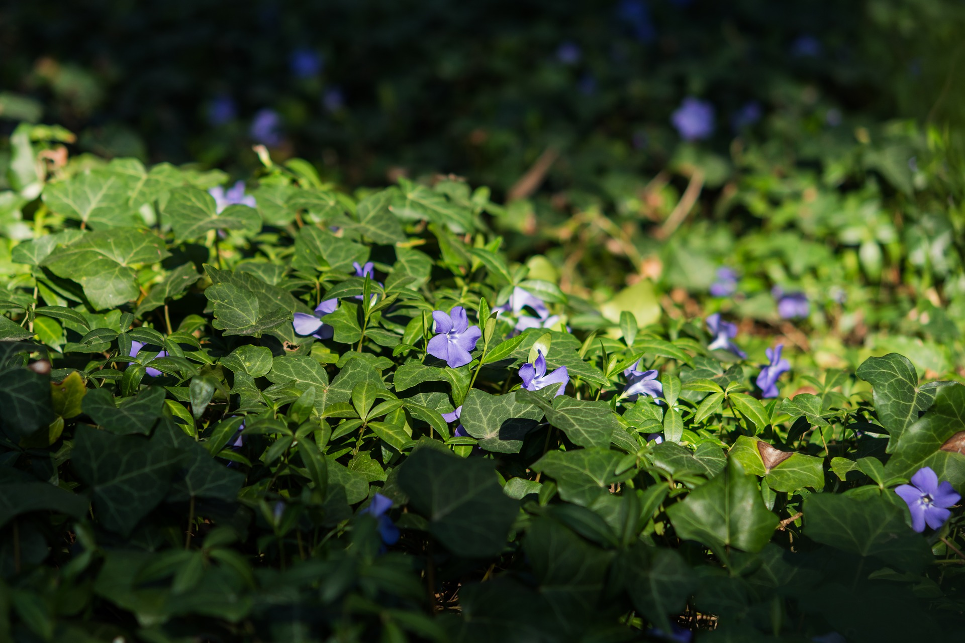 Easy To Grow Groundcover Plants