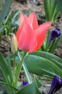 How To Care For Spring Bulbs After They Have Flowered
