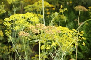 7 Herbs Every Gardener Should Plant- Dill