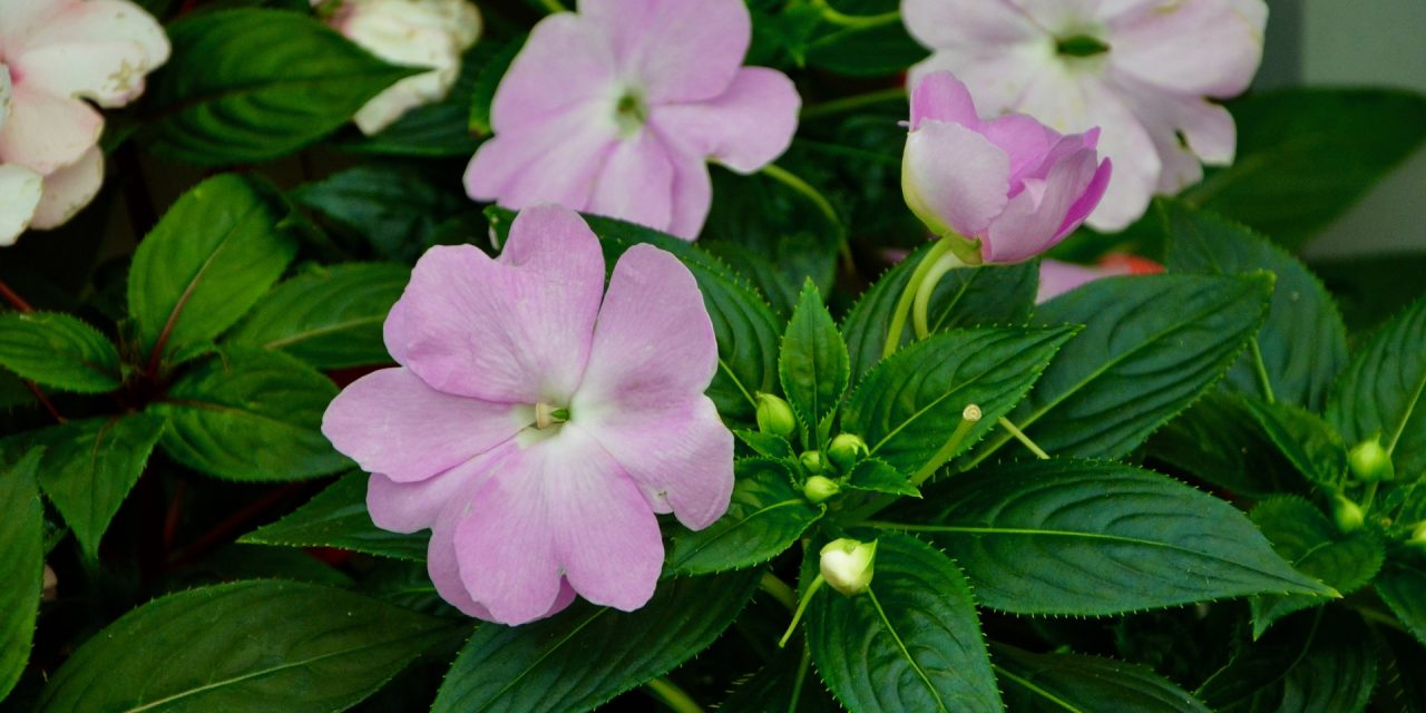 How Tall Are Your Impatiens?