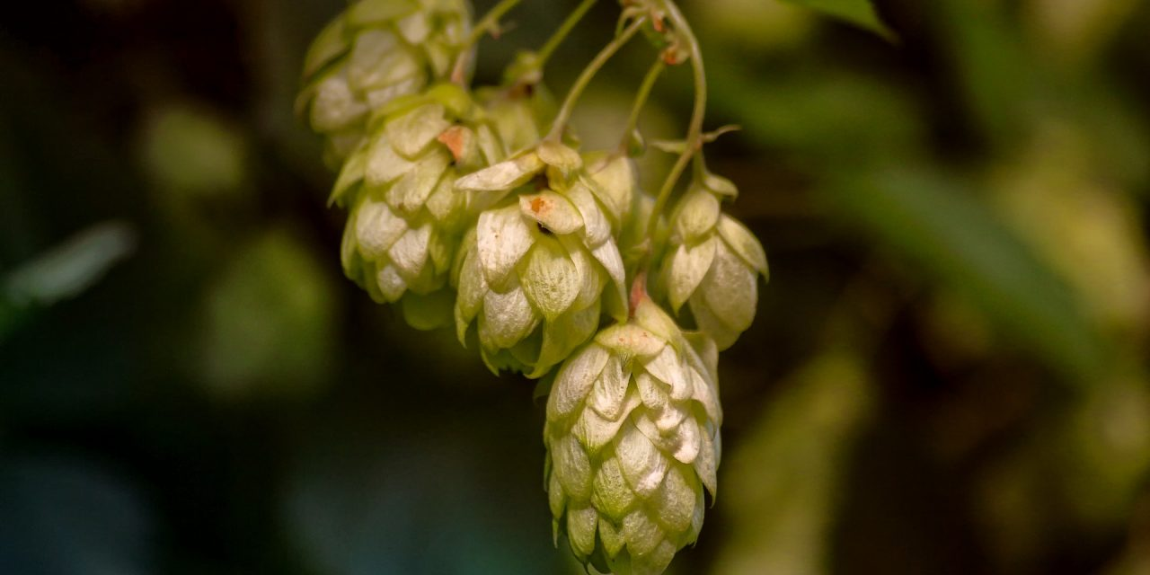 What Plants Are Needed To Make Beer?