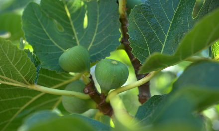 How and When To Prune A Fig Tree