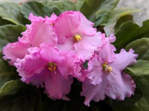 Grow Perfect African Violets