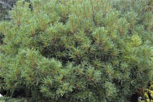 7 Conifers For The Winter Garden