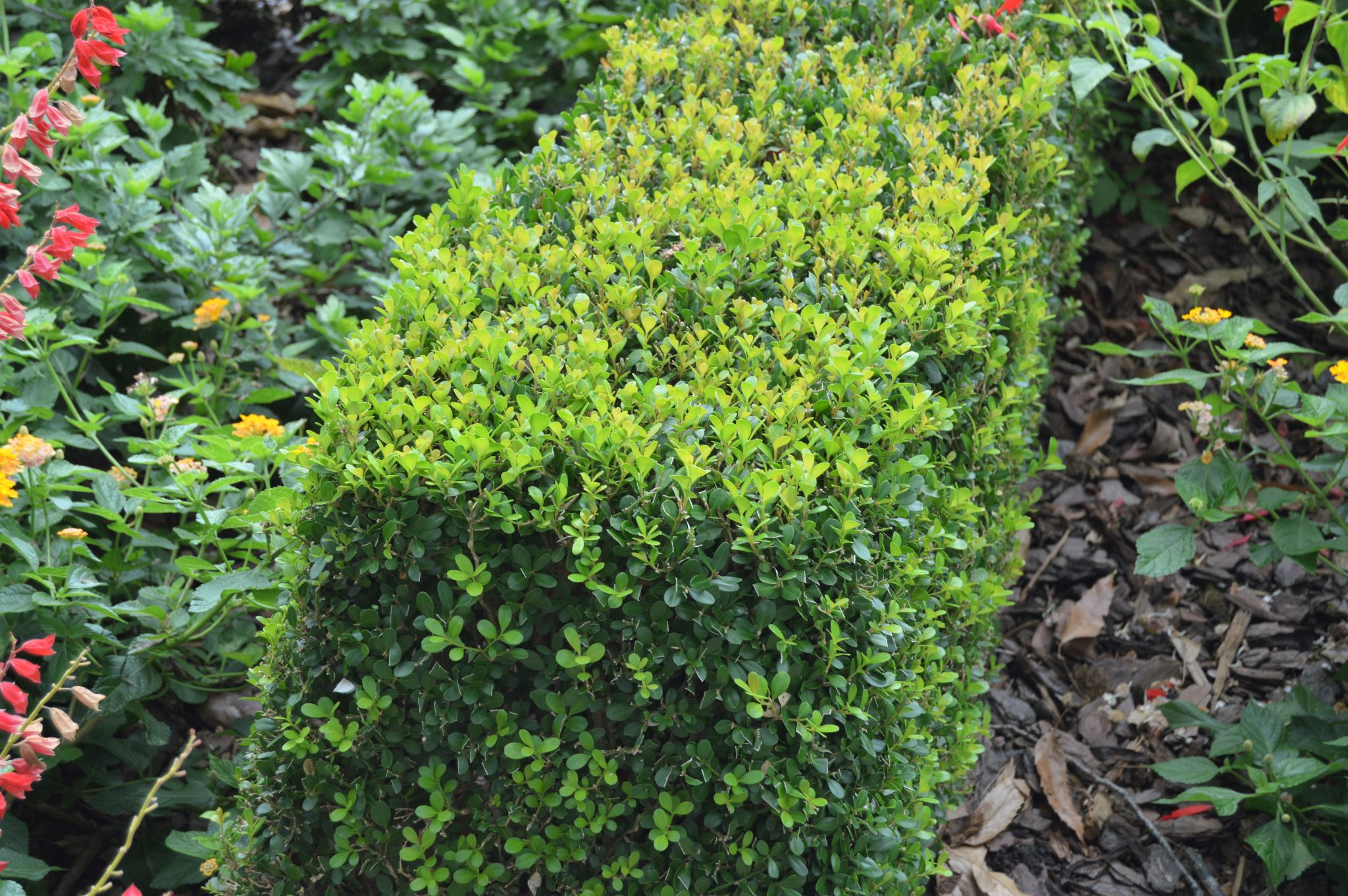 How To Grow And Care For Boxwoods