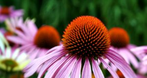 Plants That Boost Your Immune System- Echinacea