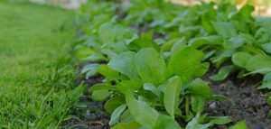 Plants That Boost Your Immune System- Spinach