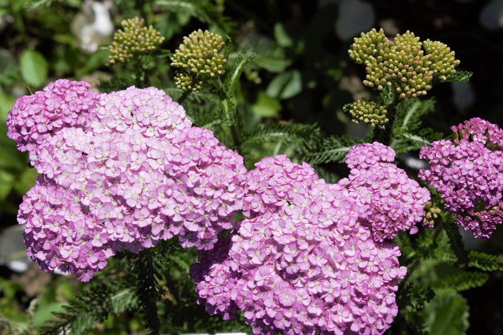 Perennials That Love Summer Heat