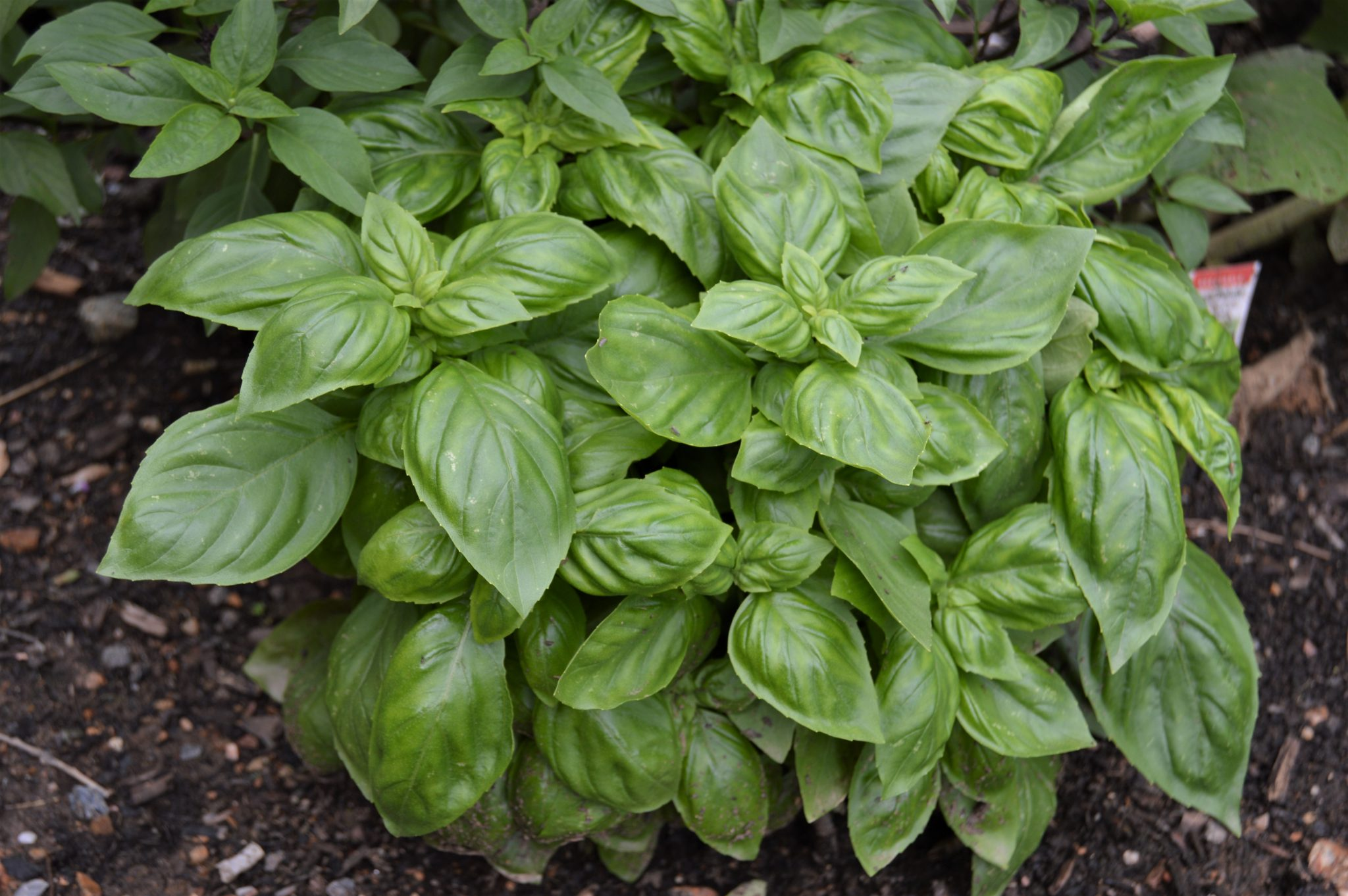 Basil- How To Cut Back Herbs For More…Herbs