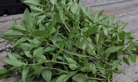 How To Cut Back Herbs For More…Herbs