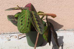 Review of Ordering Online Plants From The Sill- Maranta