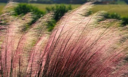 How To Maintain Ornamental Grasses