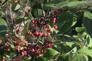 Aronia arbutifolia - Chokeberry= 11 Native Plants You Need To Use In Your Garden