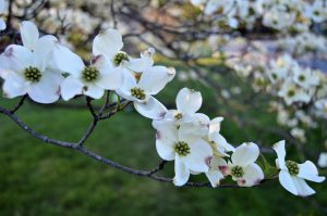 Cornus florida - Flowering Dogwood- 11 Native Plants You Need To Use In Your Garden
