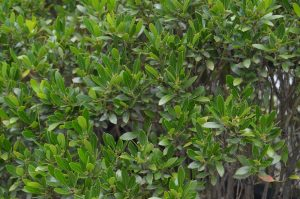 Ilex glabra - Inkberry- 11 Native Plants You Need To Use In Your Garden