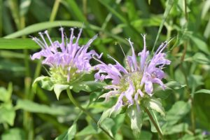 Monarda fistulosa - Wild Bergamot- 11 Native Plants You Need To Use In Your Garden