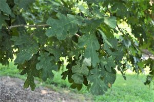 Quercus alba - White Oak- 11 Native Plants You Need To Use In Your Garden