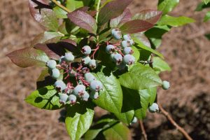 Vaccinium corymbosum - Blueberry- 11 Native Plants You Need To Use In Your Garden