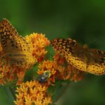 All About Butterfly Weed